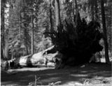 Thumbnail of The Fallen Monarch - Kings Canyon National Park, California